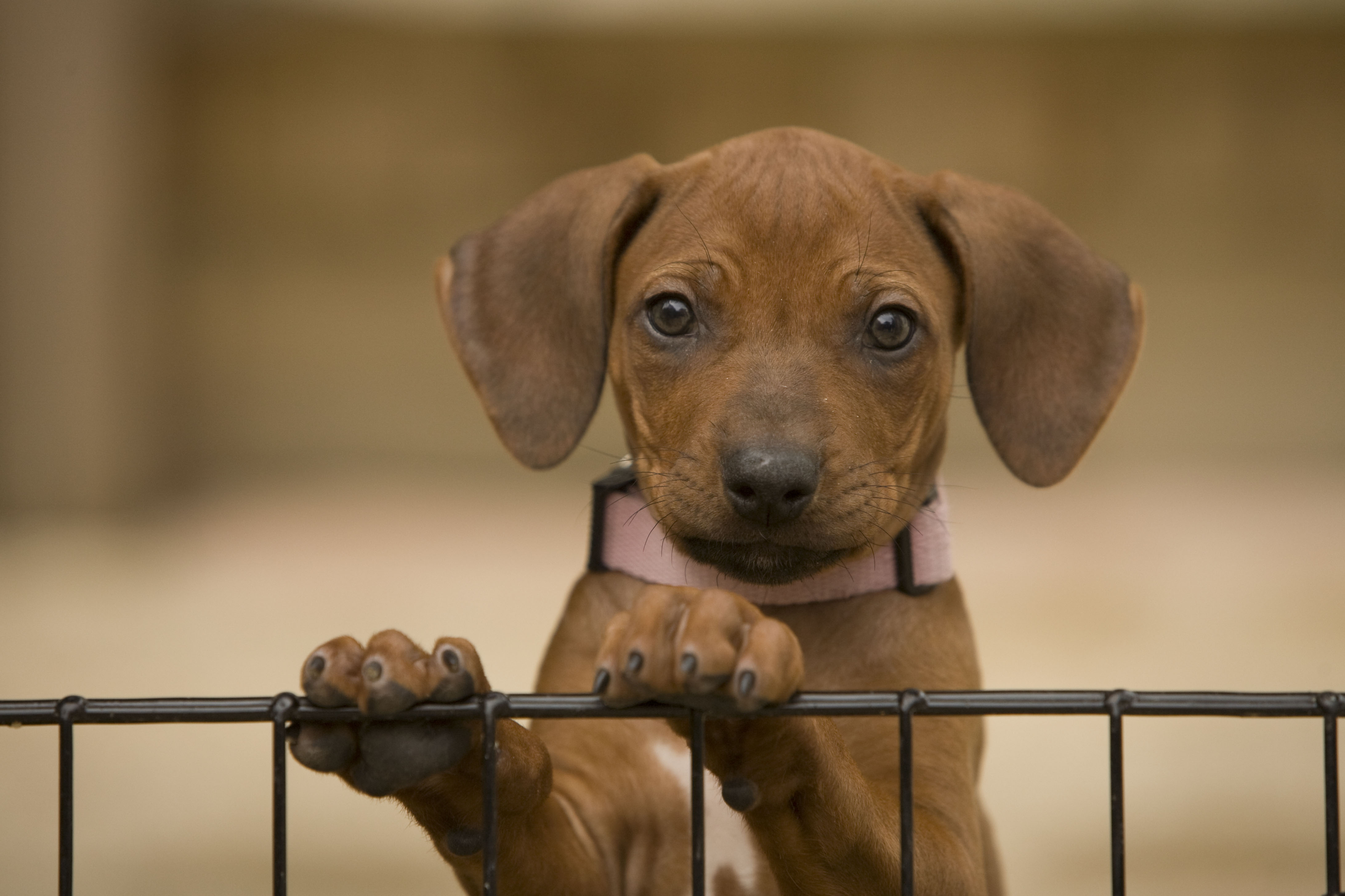 Rhodesian Ridgeback Puppies Dog Photography