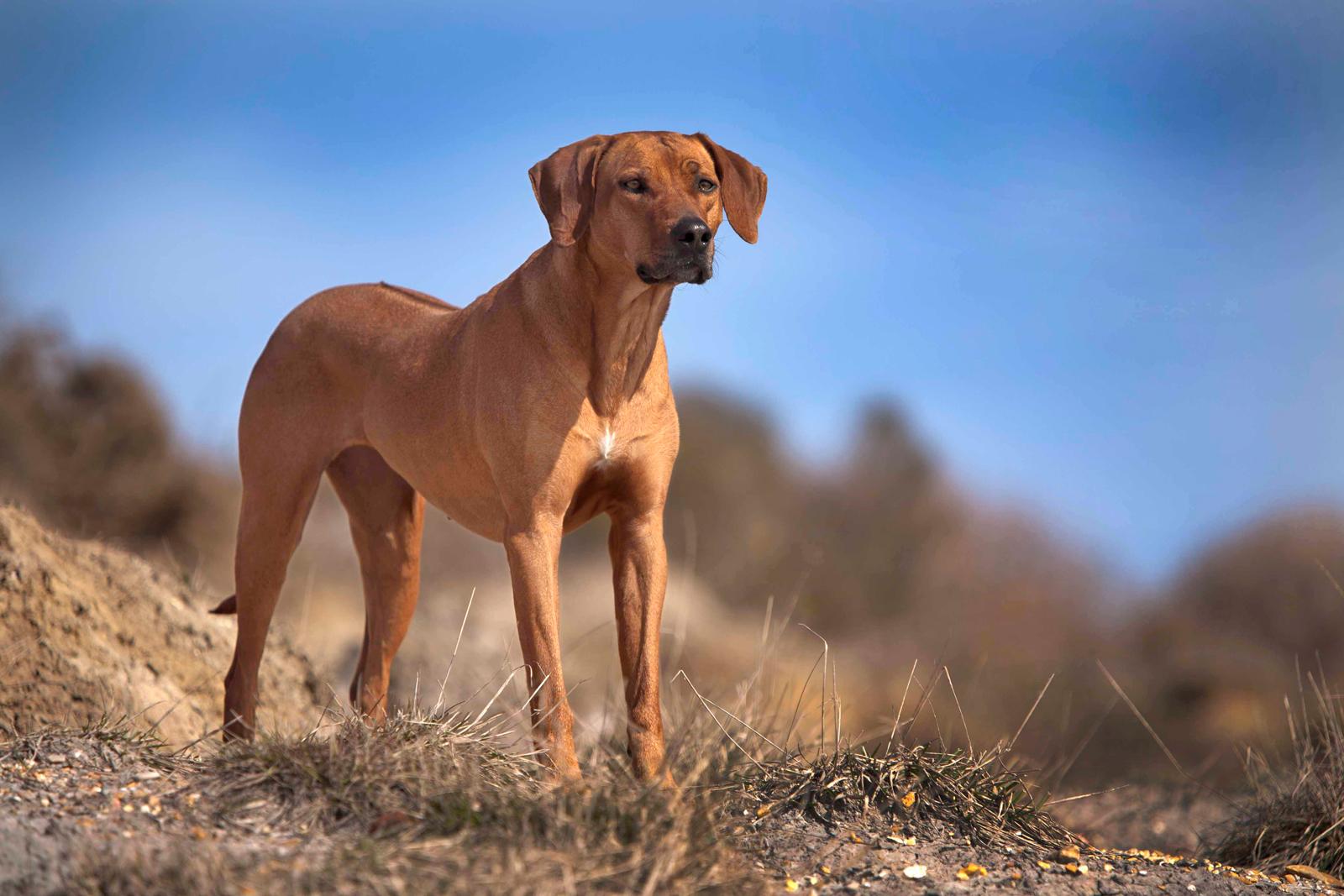Phu Quoc Ridgeback Dog For Sale