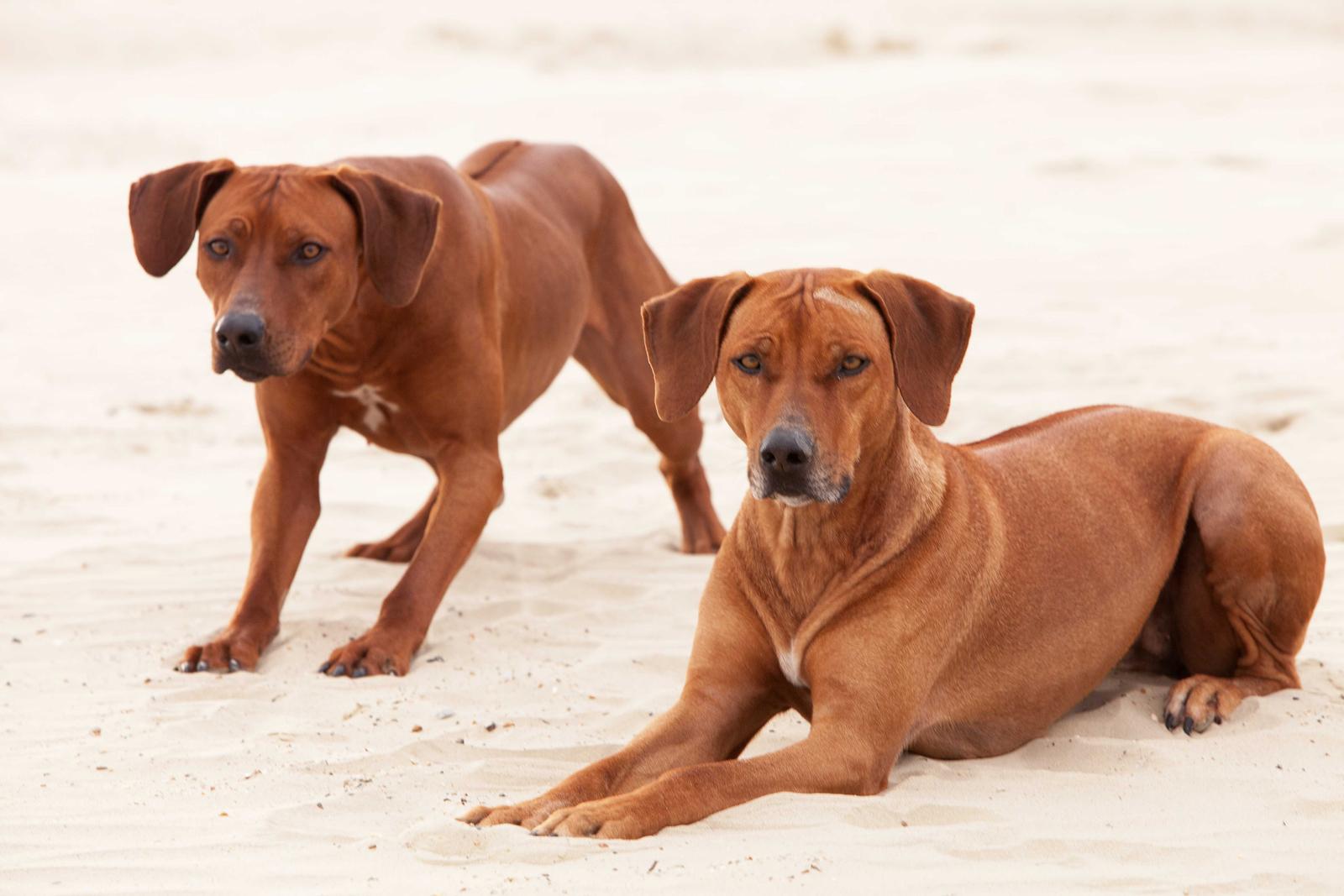Welcome to Ojore Rhodesian Ridgeback Puppies