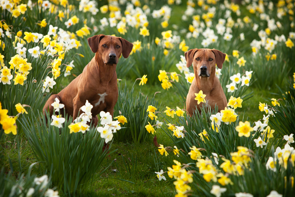MG 9529 Spring has Sprung as they say...so heres some Rhodesian Ridgebacks & Daffodils