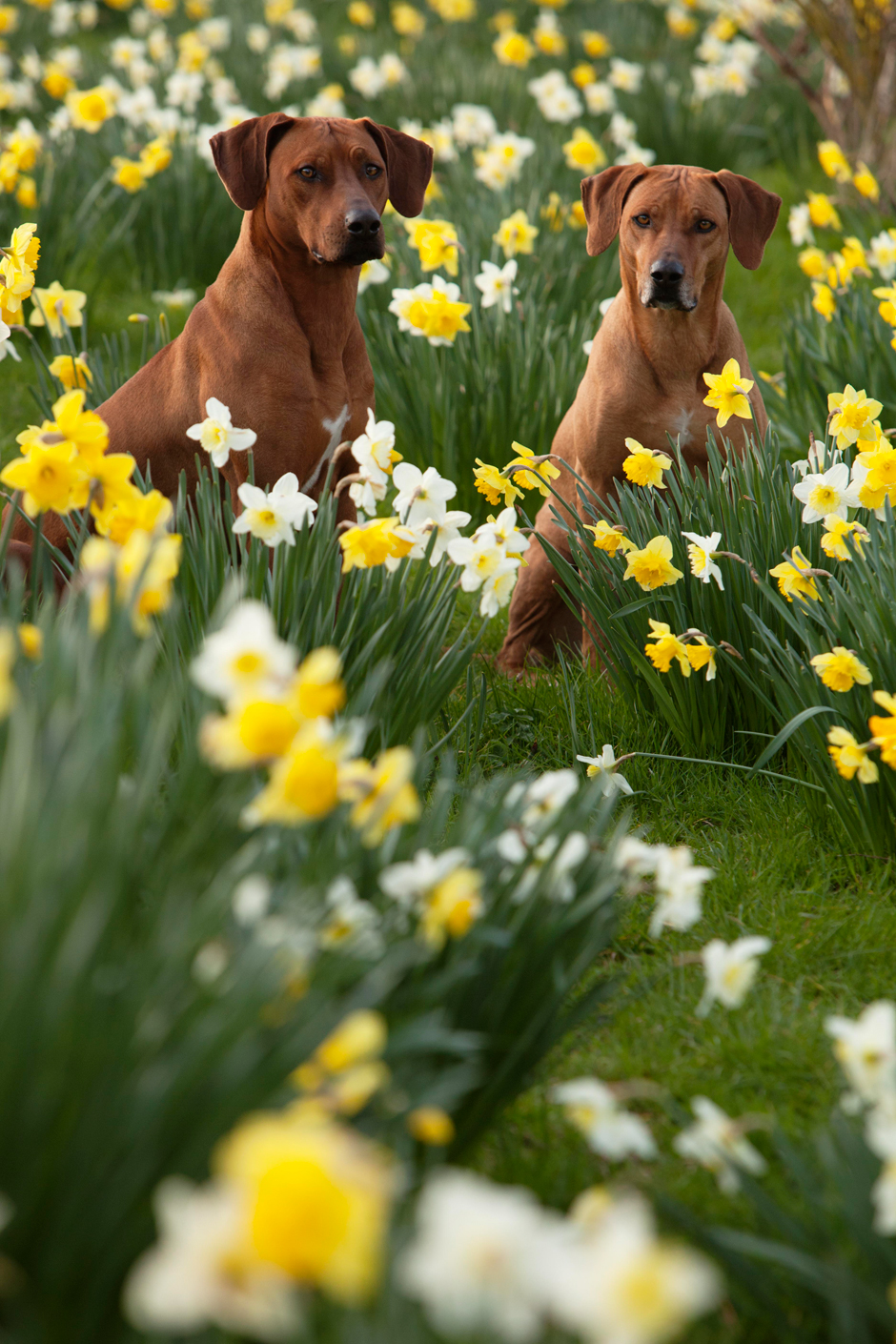 MG 9540 Spring has Sprung as they say...so heres some Rhodesian Ridgebacks & Daffodils