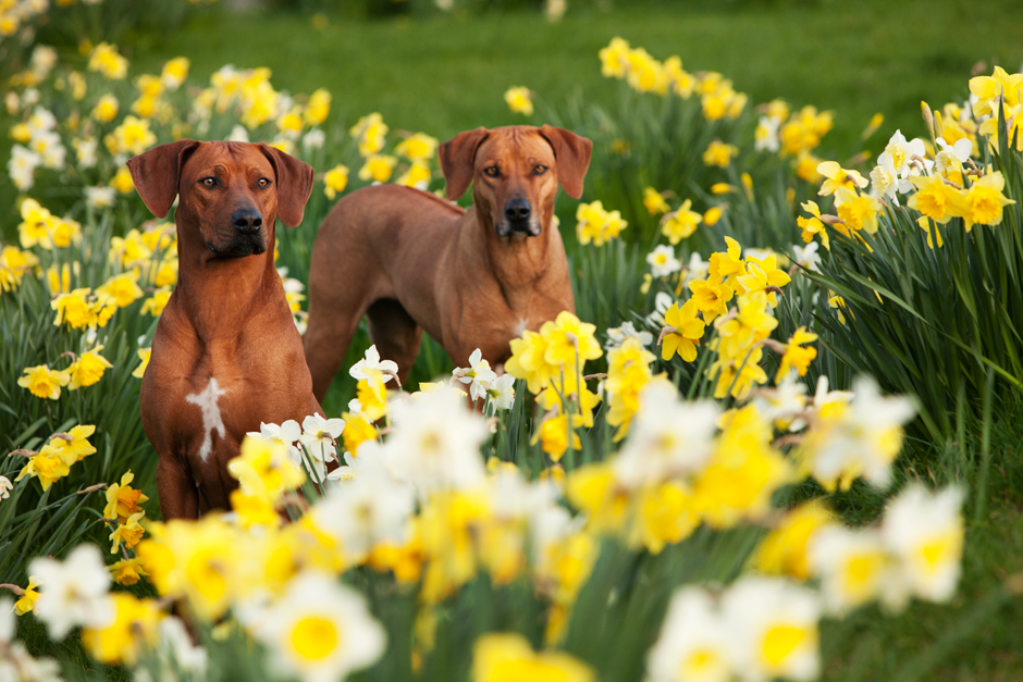 MG 9552 Spring has Sprung as they say...so heres some Rhodesian Ridgebacks & Daffodils