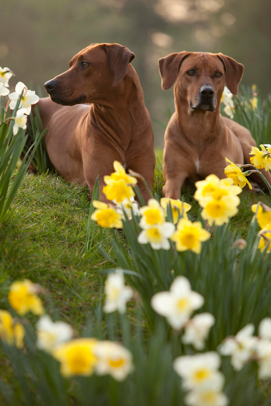 MG 9561 Spring has Sprung as they say...so heres some Rhodesian Ridgebacks & Daffodils
