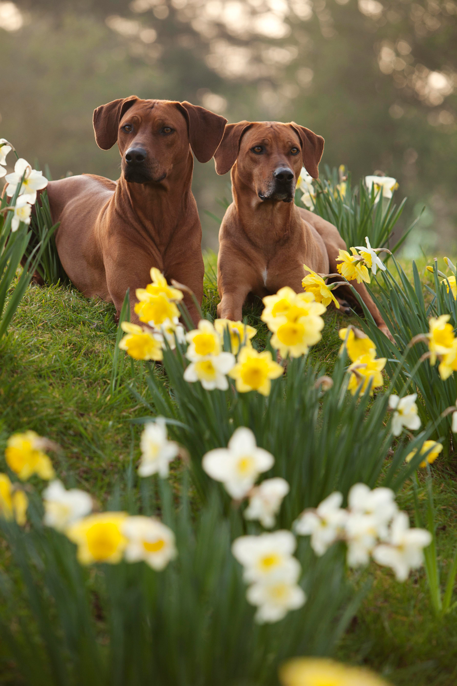 MG 95621 Spring has Sprung as they say...so heres some Rhodesian Ridgebacks & Daffodils