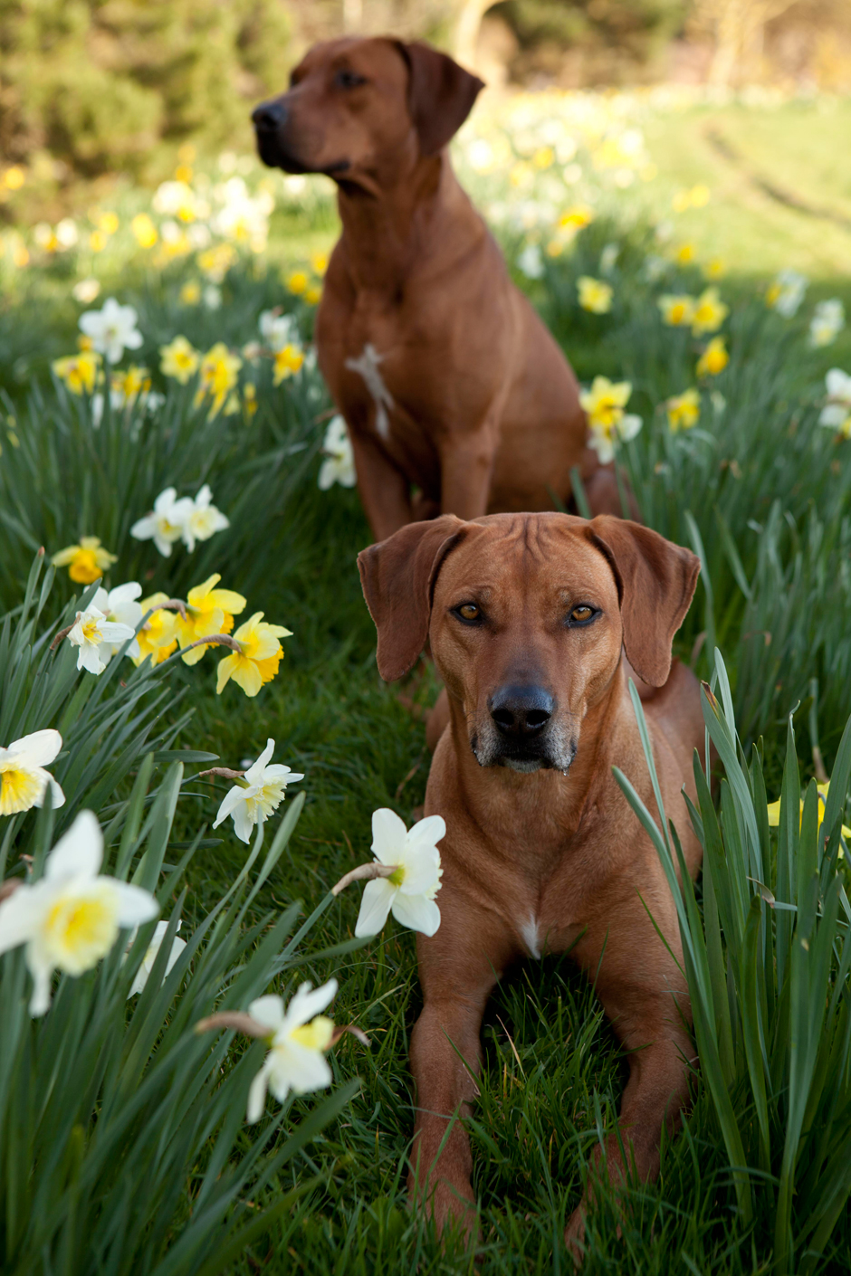 MG 9649 Spring has Sprung as they say...so heres some Rhodesian Ridgebacks & Daffodils