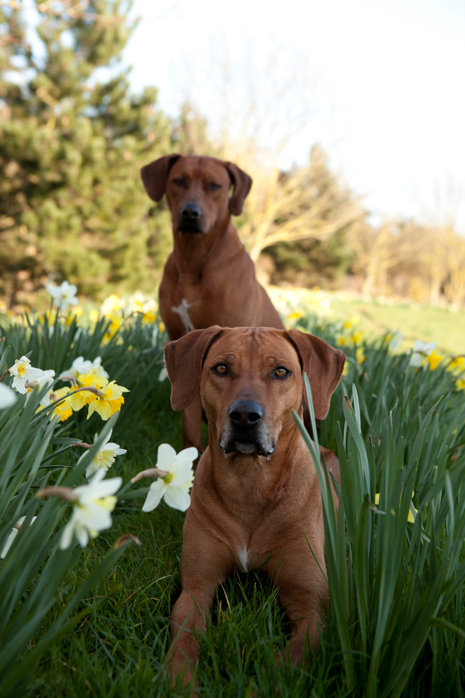 MG 9652 Spring has Sprung as they say...so heres some Rhodesian Ridgebacks & Daffodils