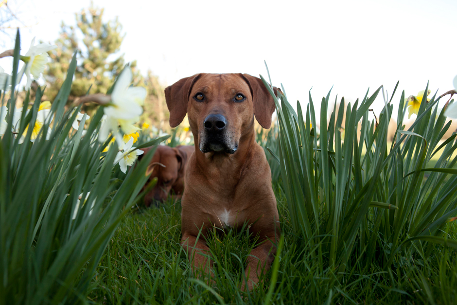 MG 9664 Spring has Sprung as they say...so heres some Rhodesian Ridgebacks & Daffodils