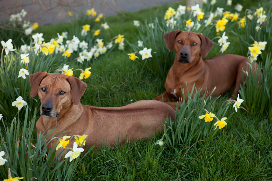 MG 9666 Spring has Sprung as they say...so heres some Rhodesian Ridgebacks & Daffodils
