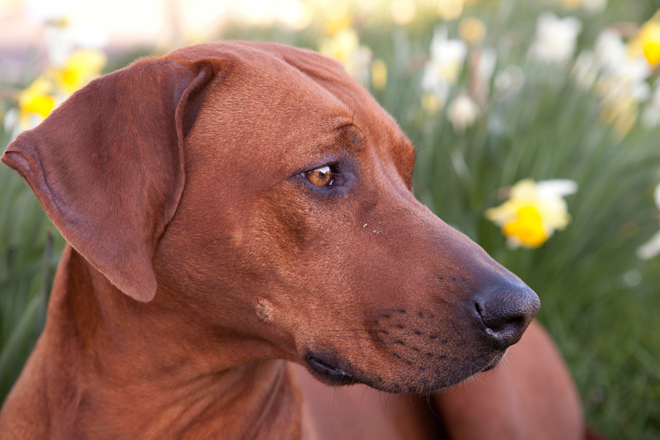 MG 9673 Spring has Sprung as they say...so heres some Rhodesian Ridgebacks & Daffodils