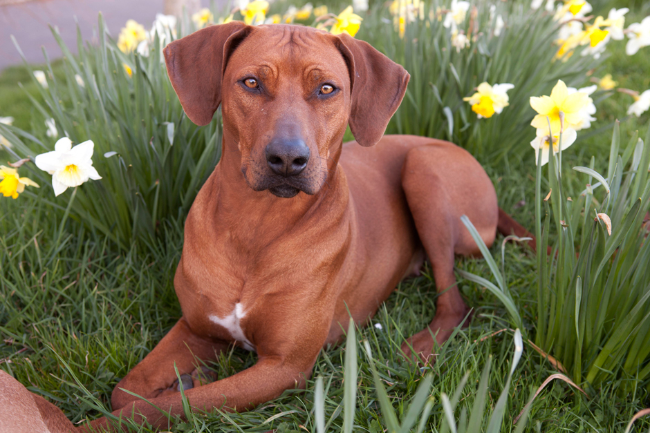 MG 9675 Spring has Sprung as they say...so heres some Rhodesian Ridgebacks & Daffodils