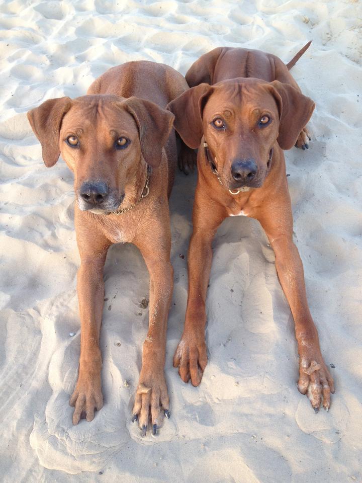 Are Rhodesian Ridgebacks Good Family Dogs