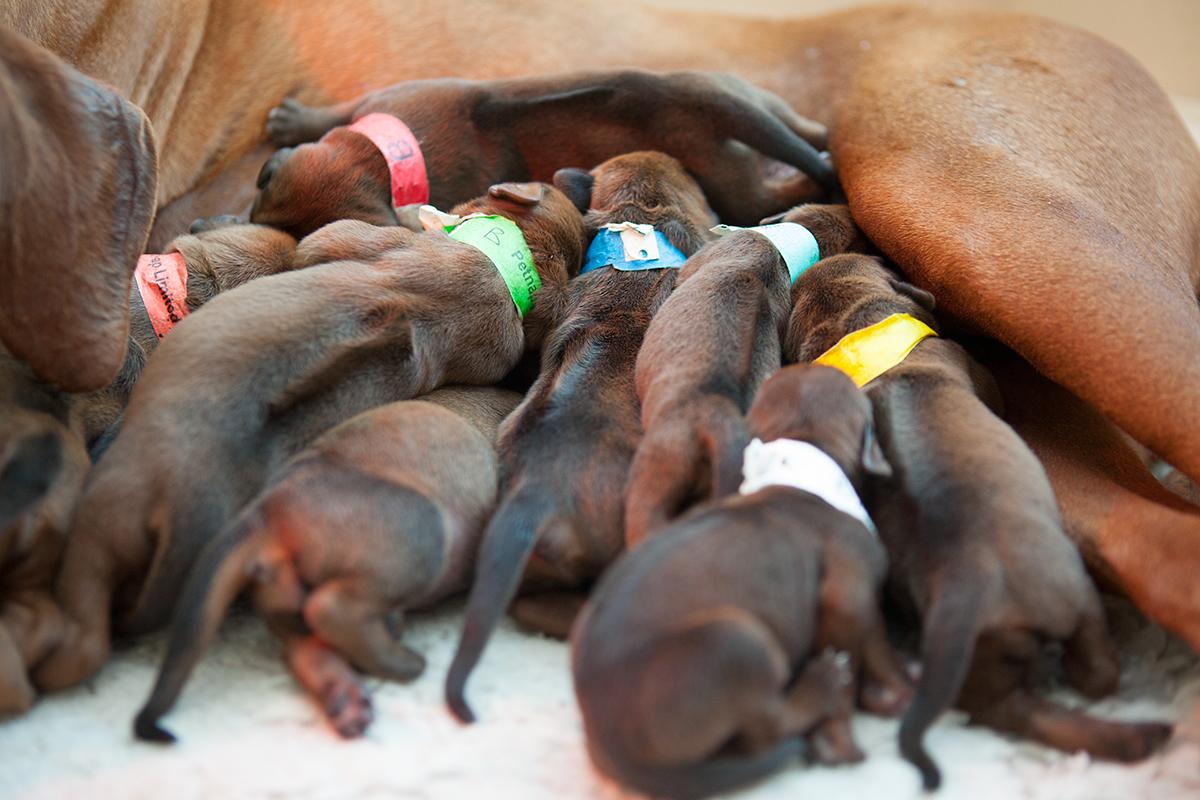 Rhodesian Ridgeback Puppies in Somerset