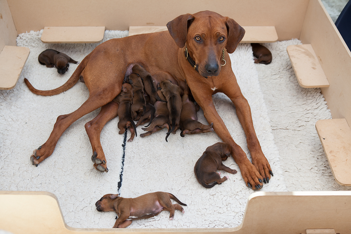 Rhodesian Ridgeback Puppies in Somerset