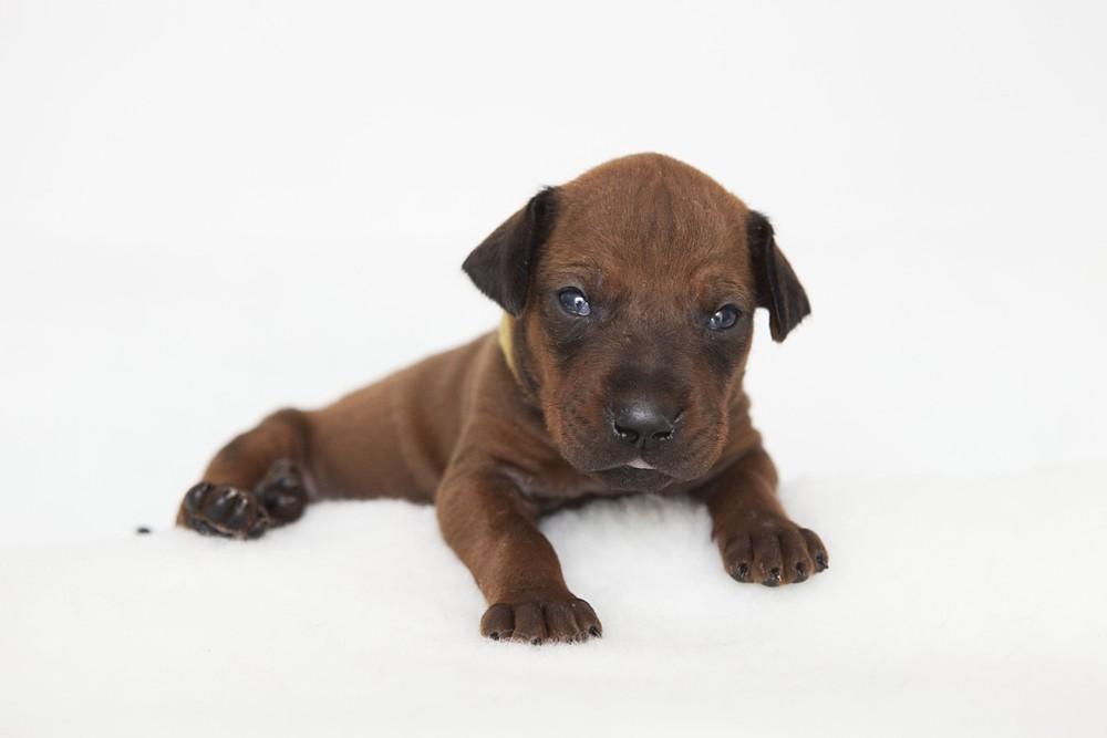 Ridgeback Puppies at 3 weeks old