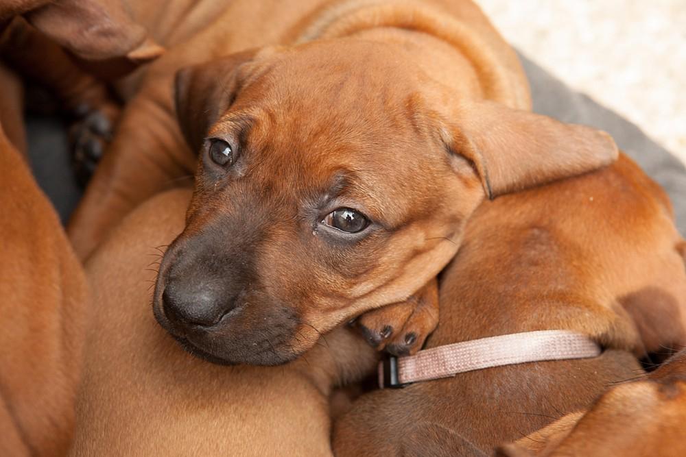 Ridgeback Pups