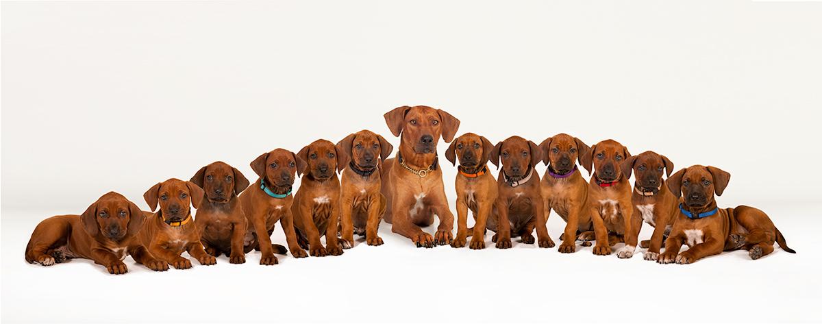 12 Rhodesian Ridgeback Puppies