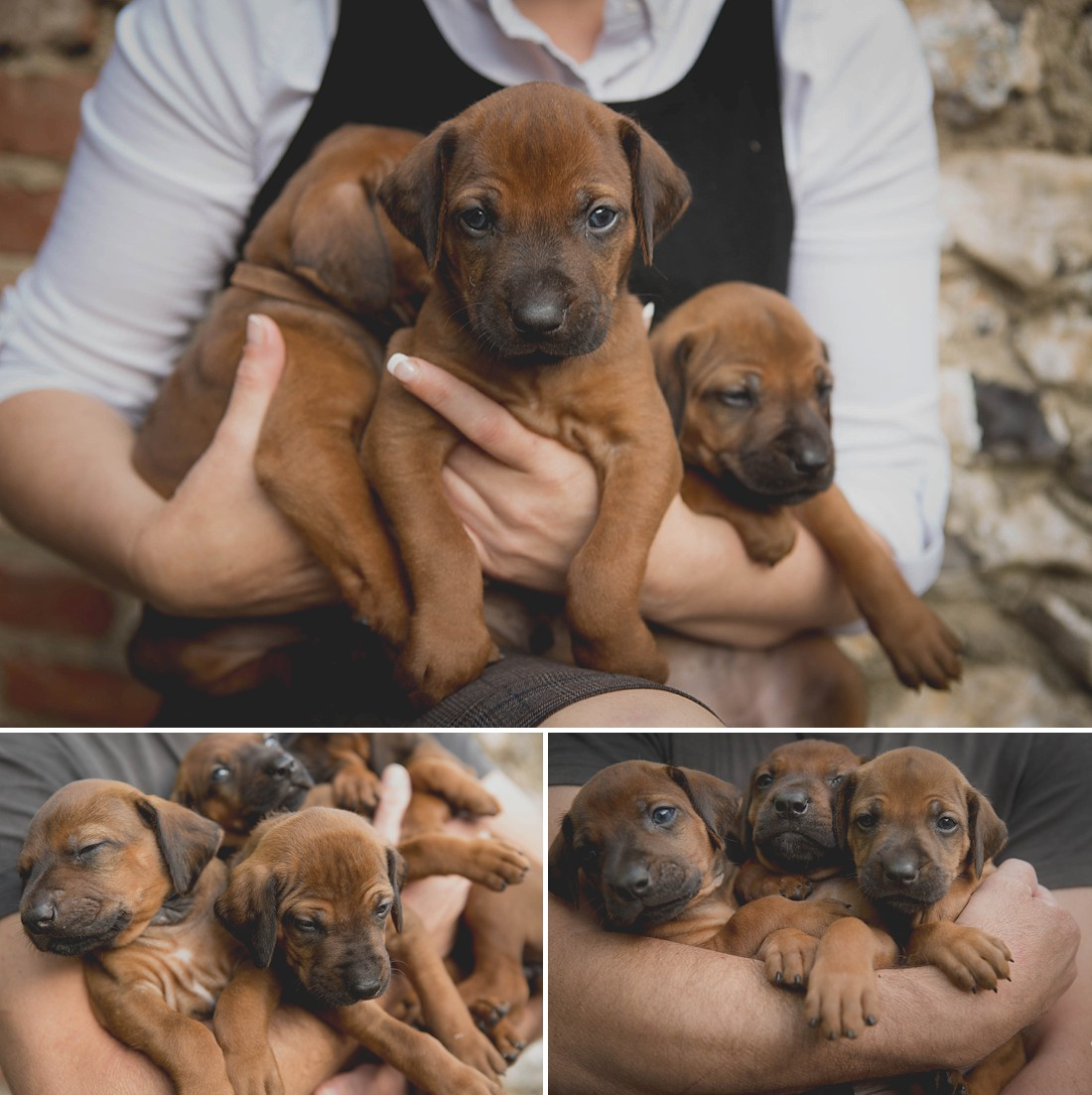 Ridgeback Puppies in Dorset