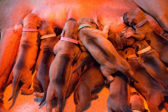 Ridgeback Puppies -_0001