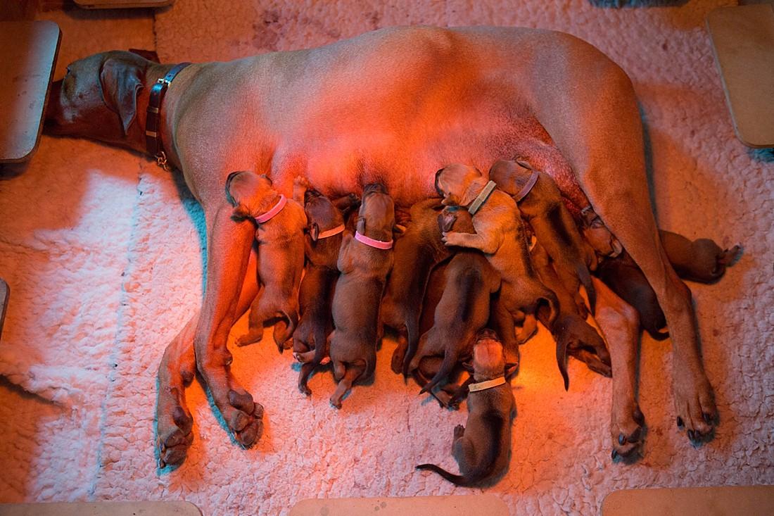 115 Ridgeback Puppies