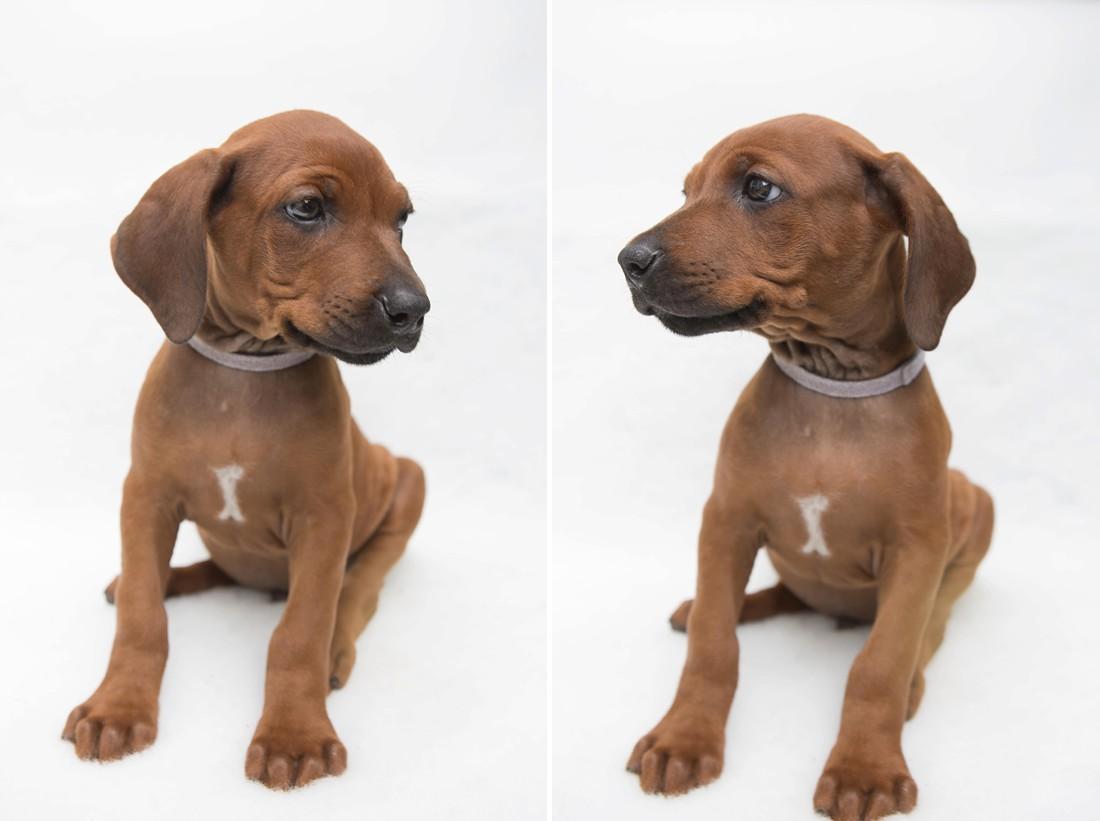 Rhodesian Ridgeback Puppy Dog