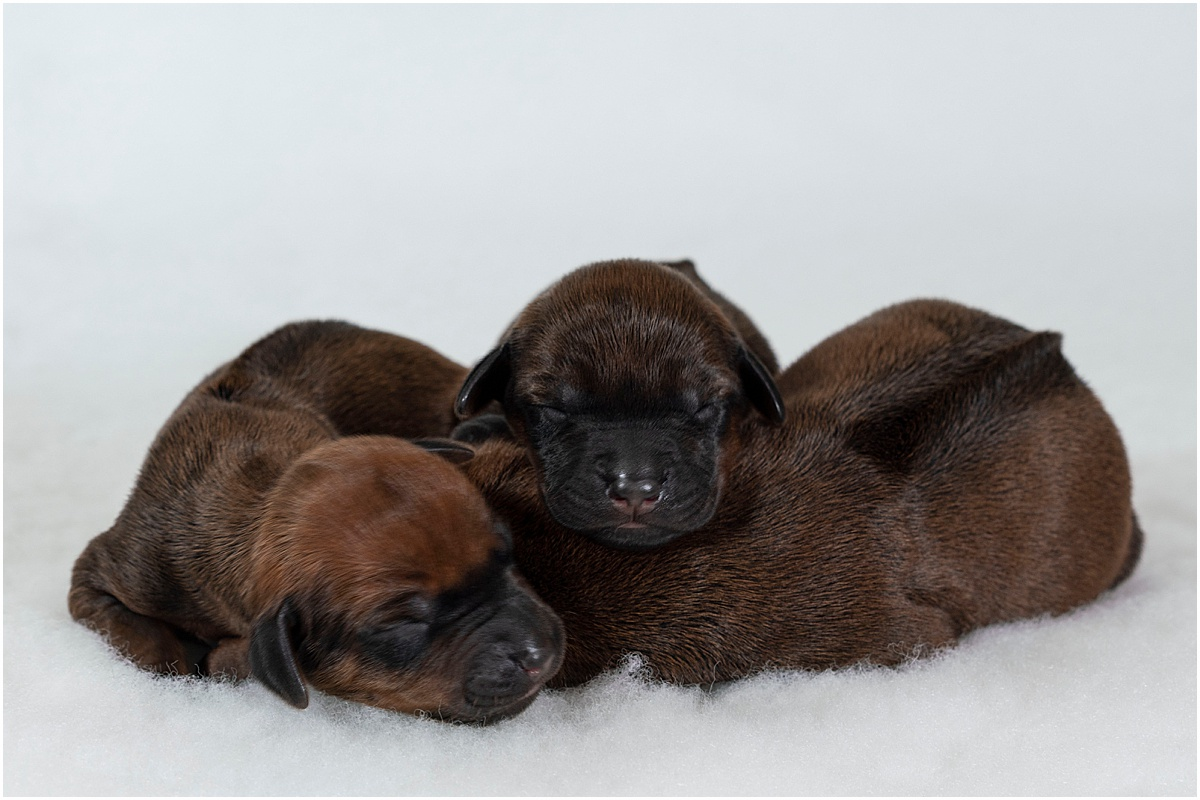 Newborn Rhodesian Ridgeback Puppies